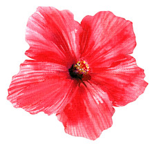 Red Hibiscus, Beautiful Large Pink Flower, Bright Blooming Tropical Flower, Isolated, Hand Drawn Watercolor Illustration On White Background