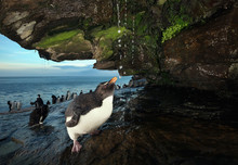 Southern Rockhopper Penguin Taking Shower