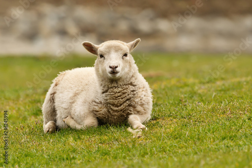 Fotografia Close up of a Shetland sheep laying on green grass