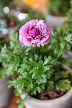 Purple Persian Buttercup Flowe...