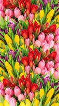 Fresh Spring Tulip Flowers Water Drops