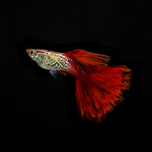 A Guppy Fish Is Seen In An Aquarium. Guppies Are The Most Common Species In The World-wide Aquarium Trade.