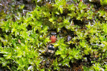 Velvet Ant On Green Moss. This Is A Macro Photo Of The Velvet Ant On Green Moss. Dasymutilla Quadriguttata
