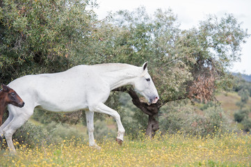 brood spanish mare walking in olive garden with her foal. Andalusia. Spain