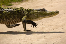 Upright, Adult Alligator Walking Across A Dirt Road In Florida.