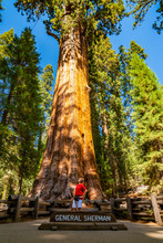 Young Man Standing By The General Sherman - The Largest Tree By Volume In The World. Sequoia National Park.
