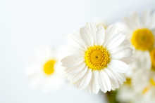 Chamomile Or Daisy Flowers On ...