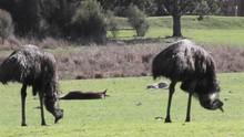 Emu Eating Kangaroos Laying Down