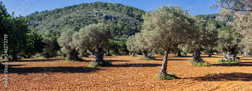 Fotografie, Obraz olive grove on the island of Mallorca