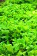 畑の野菜の風景7
