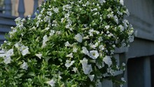White Petunia Flower Bush Near House