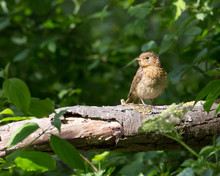 Juvenile Robin Sitting On A Branch In A Bright Sunlight At Eastbrookend Country Park In Dagenham