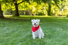 Happy Little White Dog With Red Bandana Sitting In The Grass In The Park