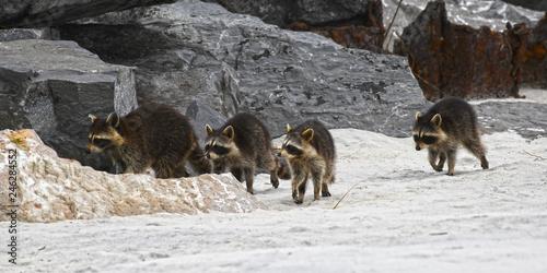 Photo  Racoon family on beach