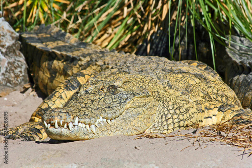Fotografie, Obraz  Nile crocodile, Orlando, Florida