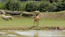 A Kafue Flats Lechwe, Kobus Le...