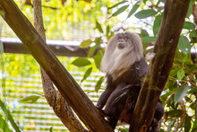 Lion-Tailed Macaque Monkey Clo...