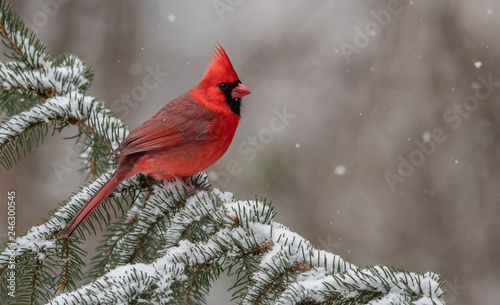 Tablou Canvas Cardinal in the Snow