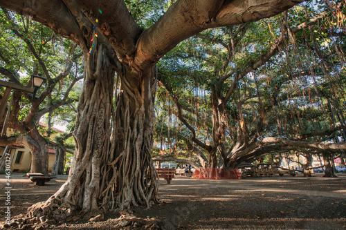 The Banyan Tree in Lahaina (Maui, HI) Canvas Print