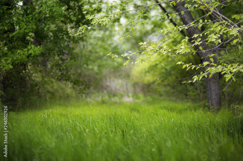 fototapeta na ścianę Beautiful green summer forest. Spring background, backdrop