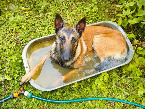 Fotografie, Tablou  The young dog climbed into the trough with water, fleeing the heat