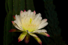 The White Flower Of The Cactus...