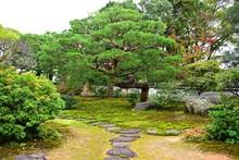 立派な松のある日本庭...