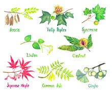 Acacia, Tulip Poplar, Sycamore, Linden, Chestnut, Japanese Maple, Common Ash, Gingko Branch With Green Leaves And Seeds (nuts) Or Flowers, Watercolor Illustration With Inscription Isolated On White
