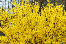 Yellow Bush, Bloom, Spring. Be...