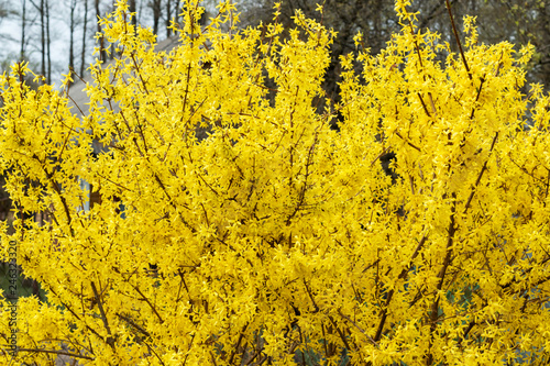 Yellow bush, bloom, spring Canvas Print