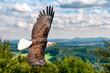 Leinwandbild Motiv Ein Weißkopfseeadler fliegen in großer Höhe am Himmel und suchen Beute. Es sind Wolken am Himmel aber es herrscht klare Sicht bei strahlender Sonne.