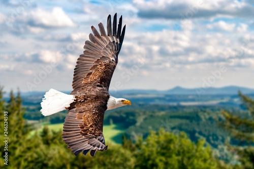 Foto auf Leinwand Adler Ein Weißkopfseeadler fliegen in großer Höhe am Himmel und suchen Beute. Es sind Wolken am Himmel aber es herrscht klare Sicht bei strahlender Sonne.
