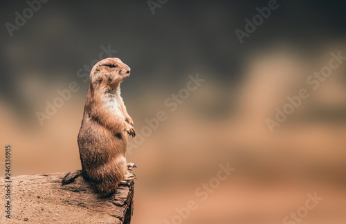 Papel de parede Prairie dog standing on wooden log and copyspace background.