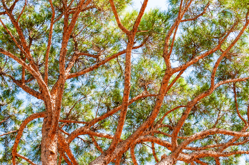 Fotografía  View from below on rich evergreen conifer pine tree trunk with growing branches