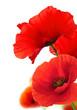 Leinwandbild Motiv Red Poppy Flowers Over White. Floral Background.