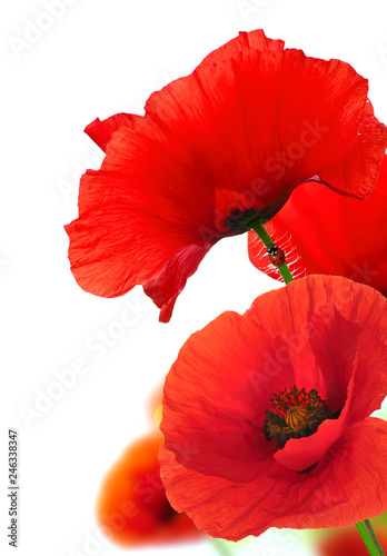 Red Poppy Flowers Over White. Floral Background.