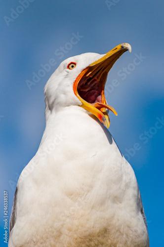 Fotografija Close-up portrait of white Seagull with wide open yellow beak