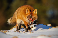 Injured Wild Red Fox, Vulpes Vulpes, With Wound On Head Approaching. Ill Animal In Nature.