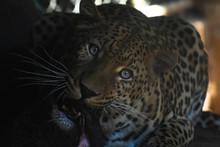 African Leopard Eating Meat (panthera Pardus Pardus)