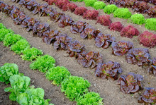 Rows Of Colourful Lettuce Salad Leaf Plants. Full Frame Texture Background.