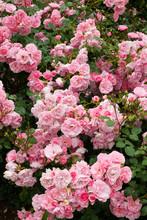Profuse Pink Bush Roses Flowering