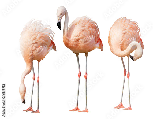 La pose en embrasure Flamingo isolated on white three flamingo