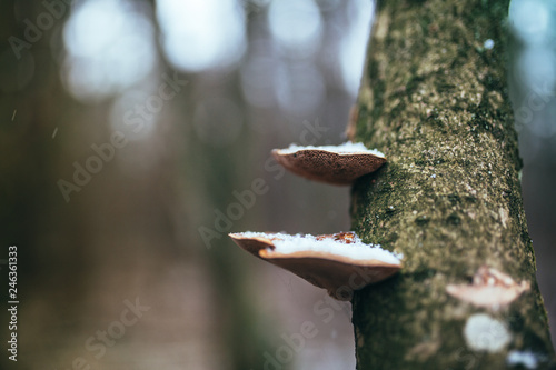 Close up of polypore fungi on tree branch in the humid winter forest Fototapet