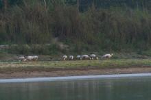 Bar-headed Goose - Ansar Indio (Anser Indicus), Rapti River, Chitwan National Park, Nepal, Asia, Unesco World Heritage Site