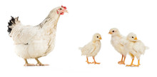 Three Chickens And Hen Isolate...