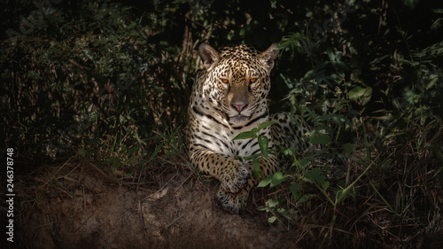 In de dag Panter American jaguar female in the darkness of a brazilian jungle. Panthera onca. Wild brasil. Brasilian wildlife. Big cats, dark background, low key.