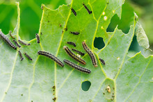 Nasty Black Caterpillars Crawl...