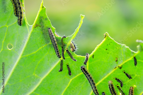 nasty black caterpillars crawl on green cabbage leaves and eat them in the garde Fototapeta