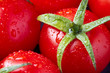 Close up of fresh ripe organic tomatoes with water drops