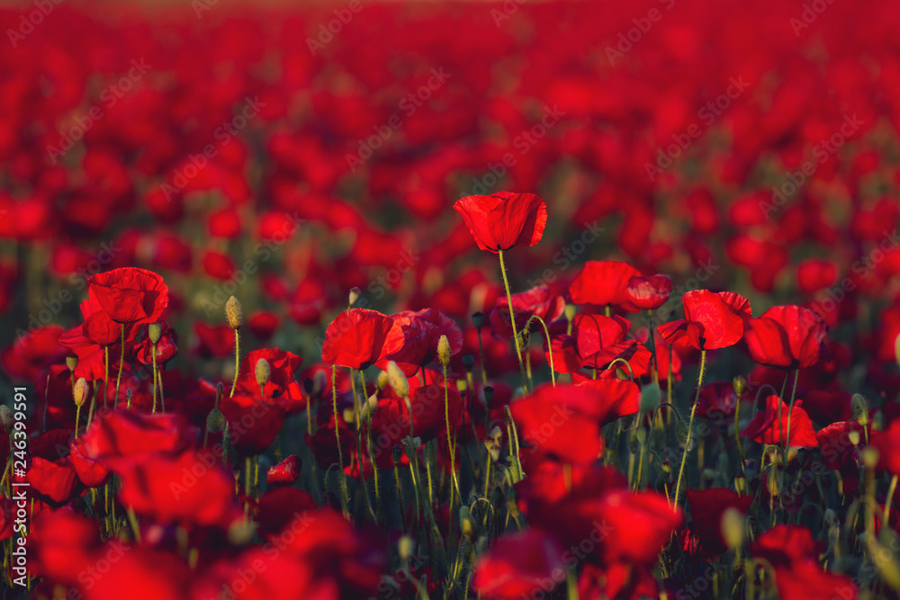 Red carpet landscape in spring with wild red poppies